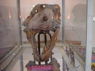 本物のスーの頭蓋骨